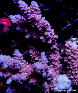 Acropora GB Pink Kitty