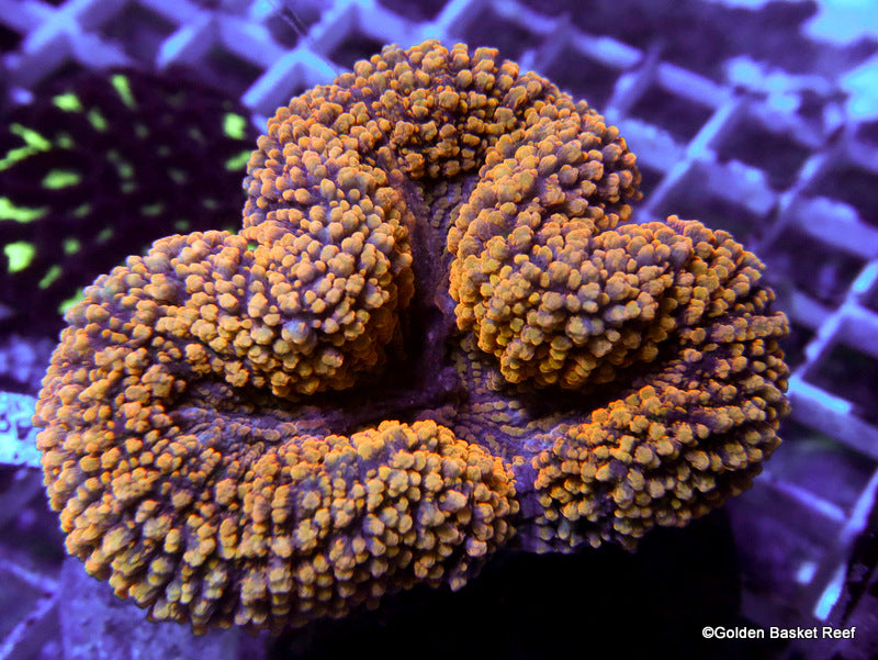 Lobophyllia Golden Carpet Colony