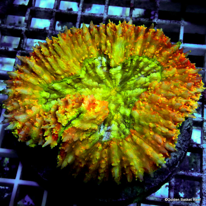 Lobophyllia GB Gold Flame