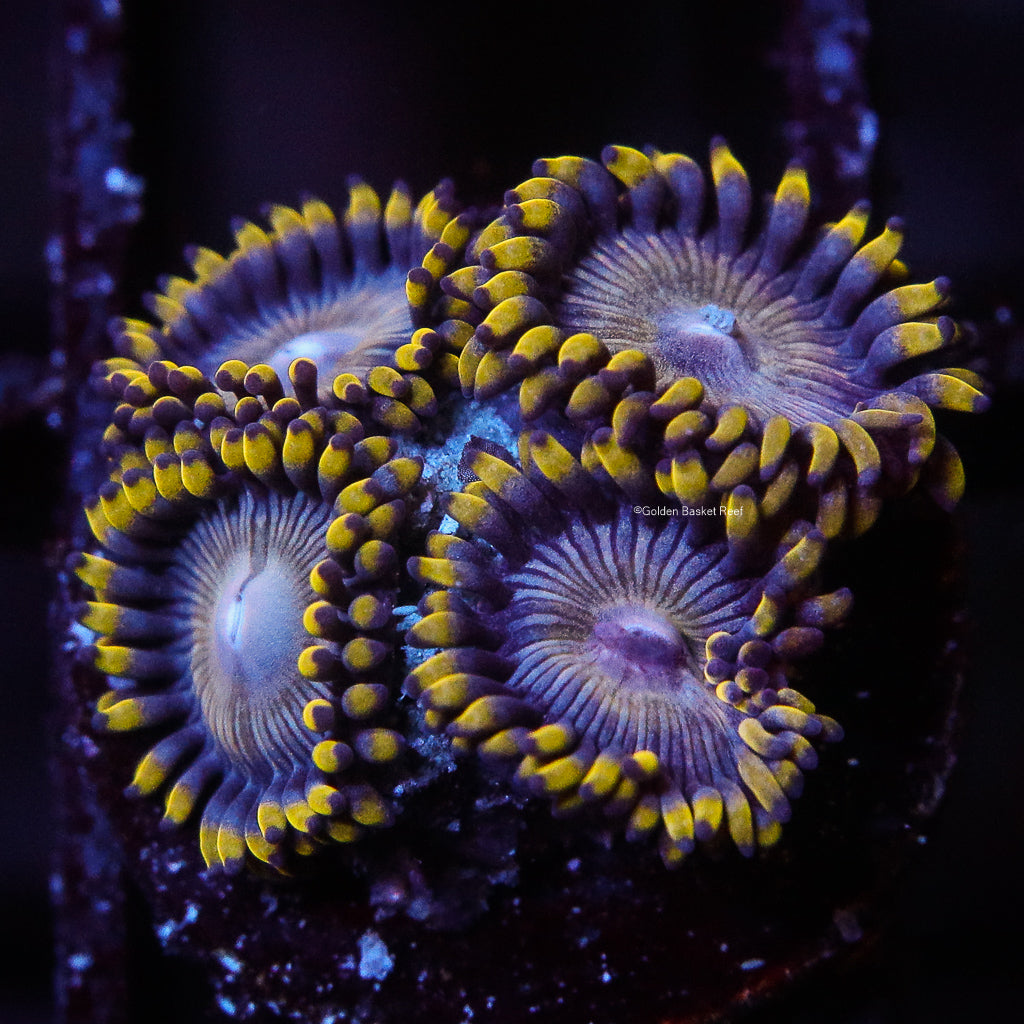 Zoa 4 Polyp GB Happy Day