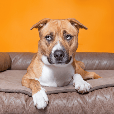 Everything you need to know about diabetic dog