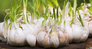 How to grow your own Garlic step by step