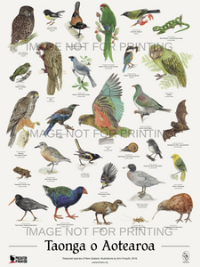 Two NZ native bird posters (incl. shipping) for $40