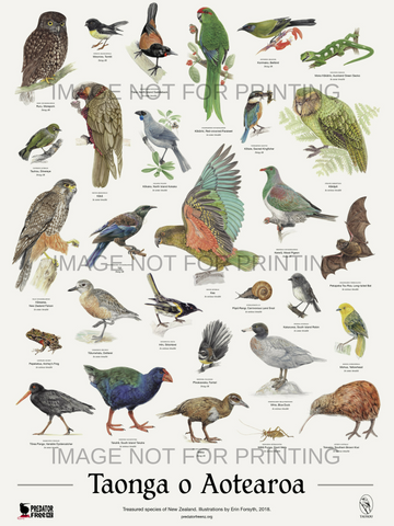 NZ native bird poster (incl. shipping)