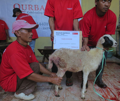 Aqiqah in Indonesia - Sheep