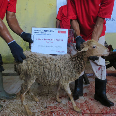 Qurban in Indonesia - Sheep
