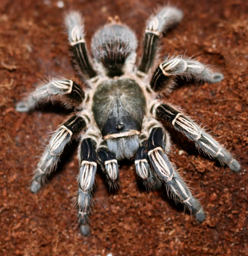 Striped-Knee Tarantula-Adults-SOLD OUT!