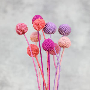 Candy Mix Billy Buttons