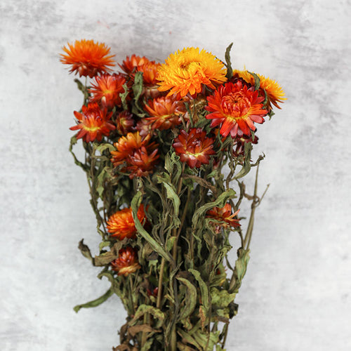 Orange Helichrysum Bunch