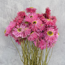 Hot Pink Rhodanthe Bunch