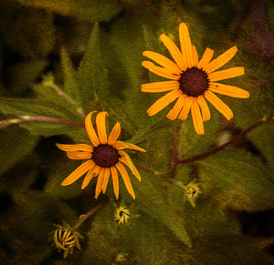 Black-Eyed Susan or Brown-Eyed Susan
