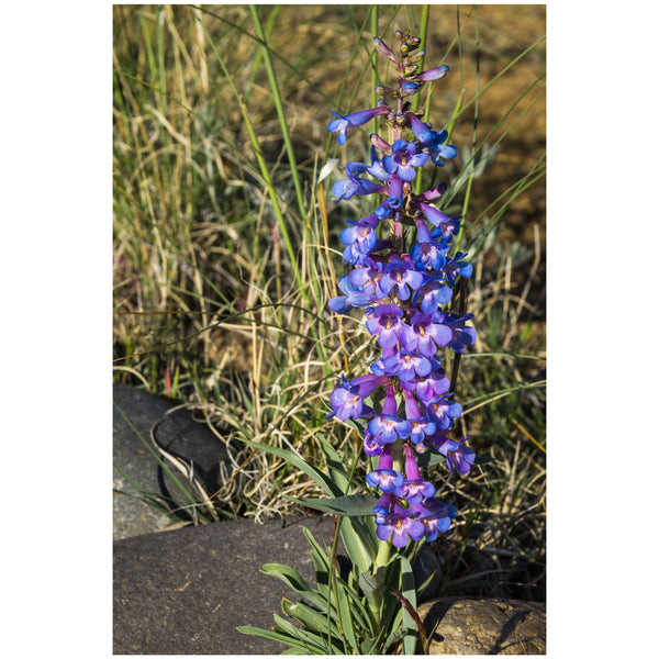 blue beardtongue wildflower canvas