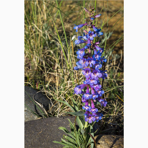wall art print of a blue beartongue wildflower