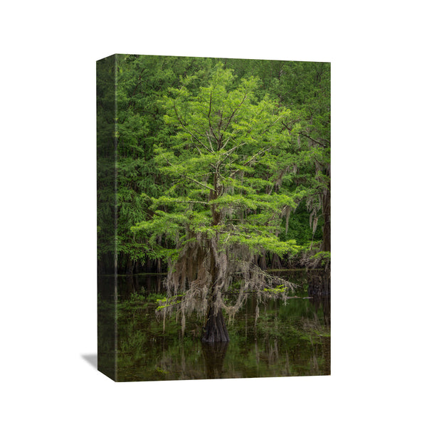 spring cypress tree in the bayou canvas wall art print