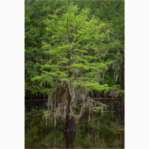 Texas bayou photography print of a spring cypress tree
