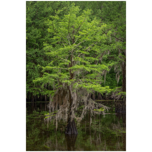bayou photography of a spring cypress tree