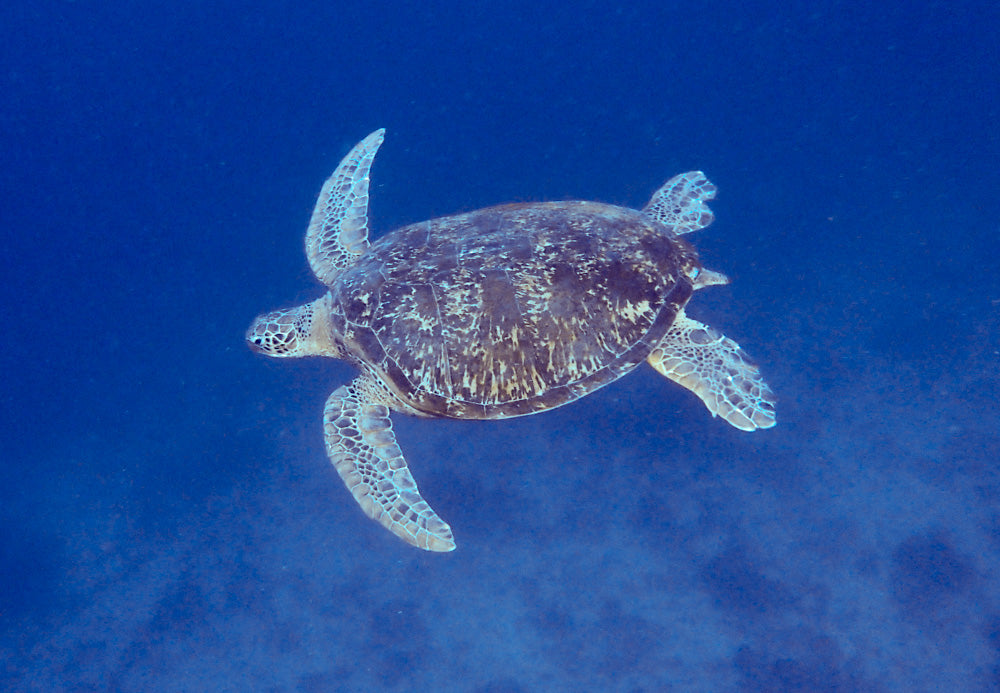 Green turtle swimming in midwater