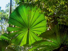 Fan Palm. Daintree Rainforest