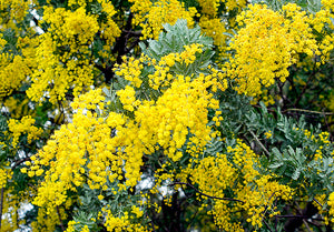 Wattle Small