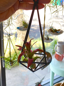 Pyramid air plant hanger w/assorted Air Plants