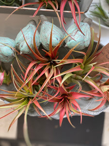 Large Tillandsia Red Abdita Air Plant