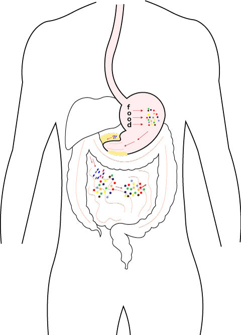 Digestion tract diagram