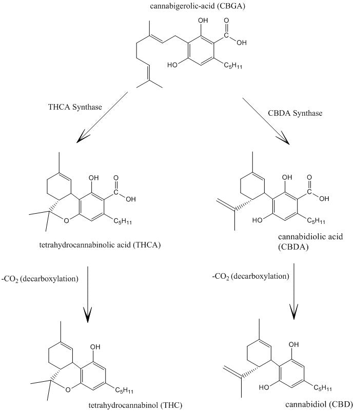 "Taura, F., Sirikantaramas, S., Shoyama, Y., Yoshikai, K., Shoyama, Y., Morimoto, S. (2007). ""Cannabidiolic-acid synthase, the chemotype-determining enzyme in the fiber-type Cannabis sativa"". FEBS Letters 581 (16): 2929–2934. doi:10.1016/j.febslet.2007.05.043 (wikipedia)"