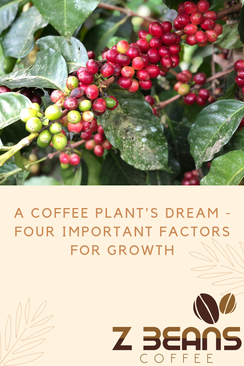 Four important factors for coffee bean growth