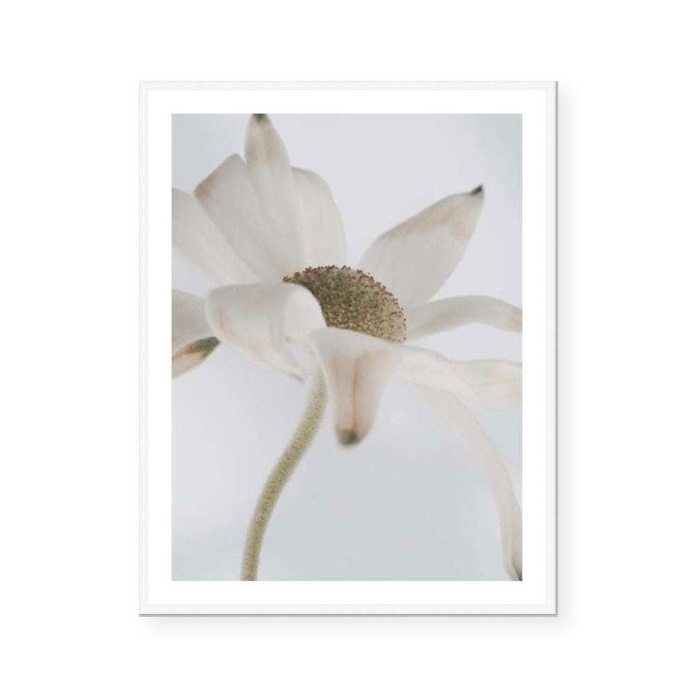 Flannel Flower | Fine Art Print | Katie Clulow