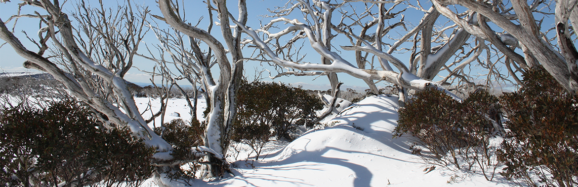 Tips for first timers - Snowgums
