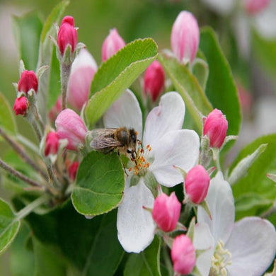 Apple Blossom (PEAK)