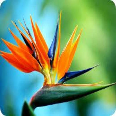 Bird of Paradise (PEAK)