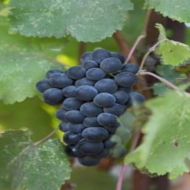 Cabernet Grape (Peak)