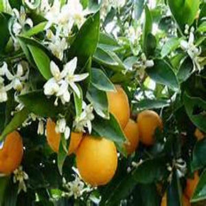 Orange Blossom (PEAK)