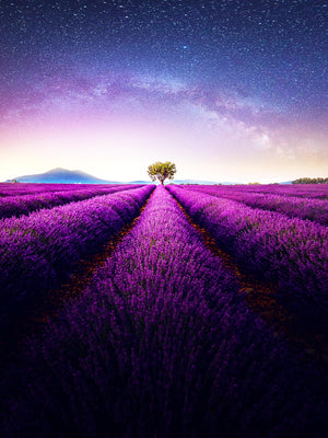 Fields Of Lilac