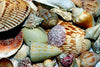 Florida Beach Shells