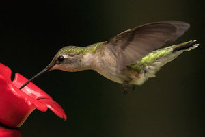 Thirsty Hummingbird