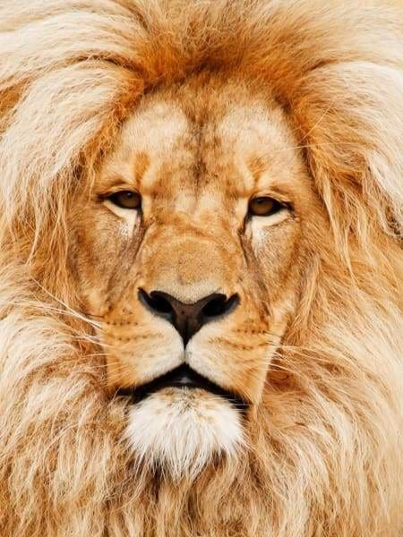 Lion Portrait BFCM Fall Sale Lion October 2018 Round