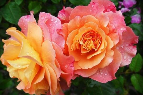 Nature Diamond Painting Kit - Orange Rose-Square 20x30cm- - Paint With Diamonds