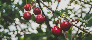 FLATHEAD CHERRIES - GLORY IN MONTANA!
