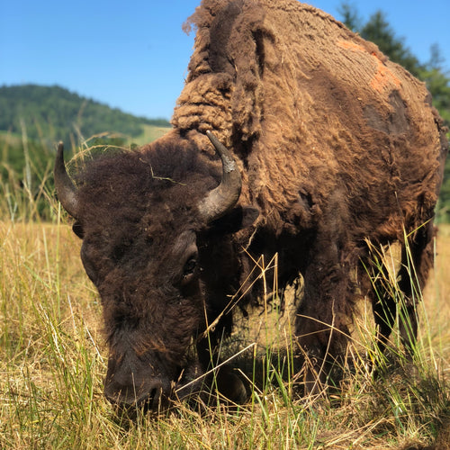 Kai the American Bison