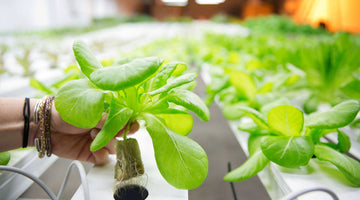 Why do hydroponic plants grow better?