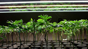 How to combine Nutrients and Lights for Excellent Results