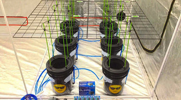 Is Deep Water Culture the most effective hydroponic system?