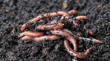 Red Wigglers can survive in Recirculating Water Systems & DWC