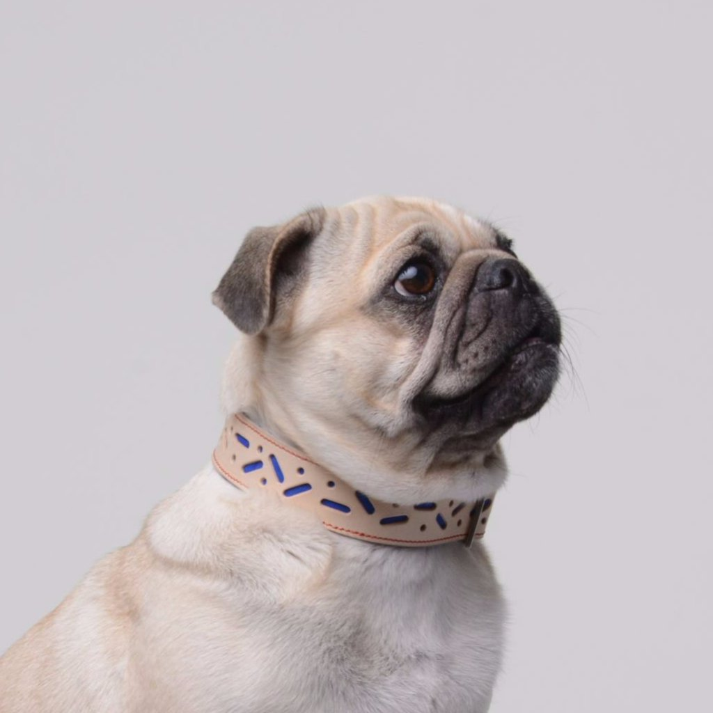 Malac the pug in her Blue Bauhaus Collar