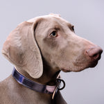 Moonshine Collar for dogs with shorter neck