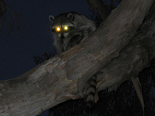Coon Hunting: The Complete Guide