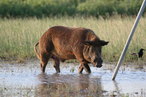Pig Hunting: 5 Proven Tips to See More Wild Pigs