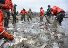 netting asian carp